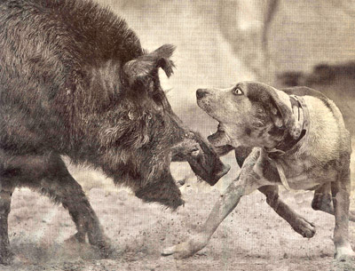 hog-baiting.jpg